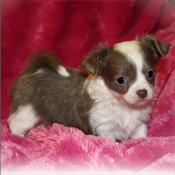 Isn't she sooo cute!!!Chihuahua puppy waiting a new family
