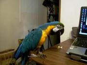 Beautiful blue and gold macaw for sale.