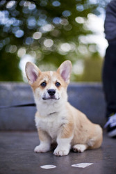 pembroke welsh corgi puppies     600 euros