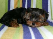 Cute and adorable Yorkie Terrier Puppies  for adoption