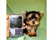 Lovely Yorkie Puppies Available for X-Mas