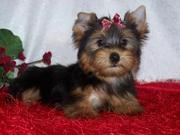 Cute And Adorable Yorkie Puppies For Xmass