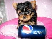 Cute and Adorable Yorkie Puppies For Adoption/FREE
