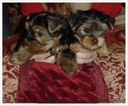 Top Quality Teacup Yorkie Puppies For Adoption