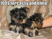 Cute and Adorable $50Yorkie Puppies For X-MASS