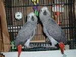 African Grey Parrots For A Good Home